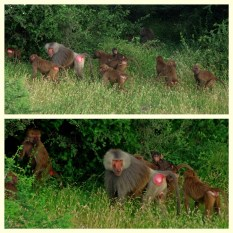 baboon's family