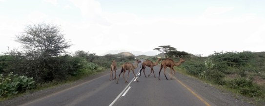 no cows that time.. mainly camel crossing