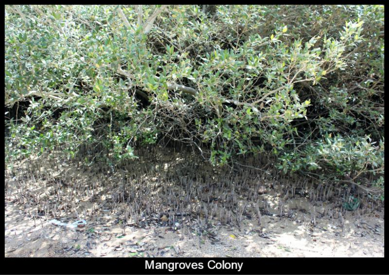 Mangroves colony