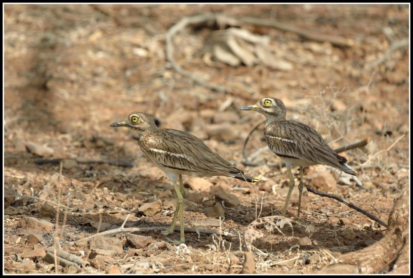 Birds at Gir