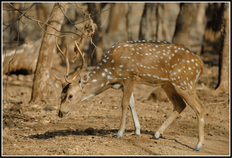 Deer at Gir Forest National Park