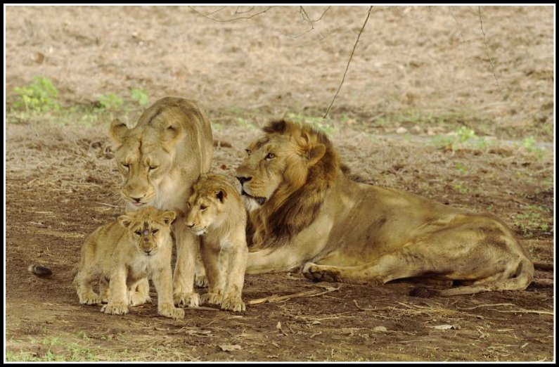 Pride At Gir National Park
