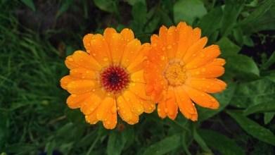 Florile de galbenele | Rovitality