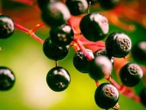 Beneficiile fructelor de soc