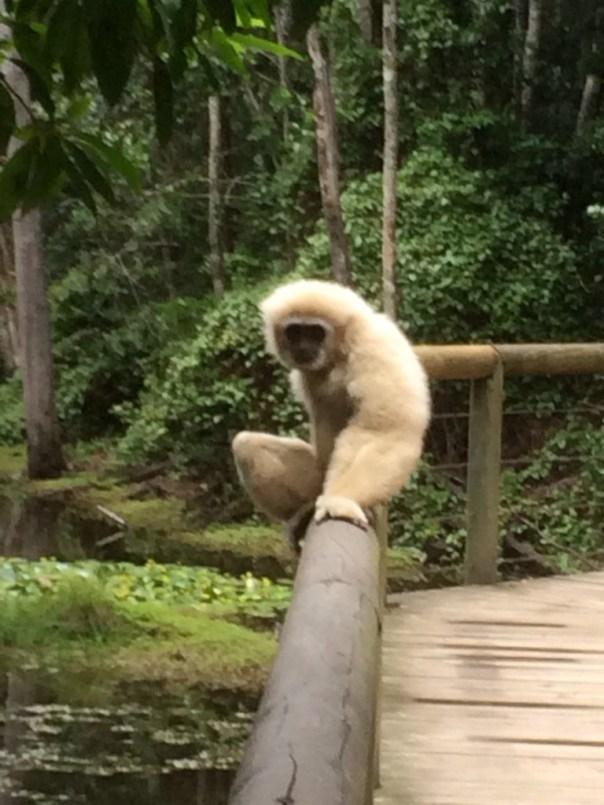 Atlas, male gibbon