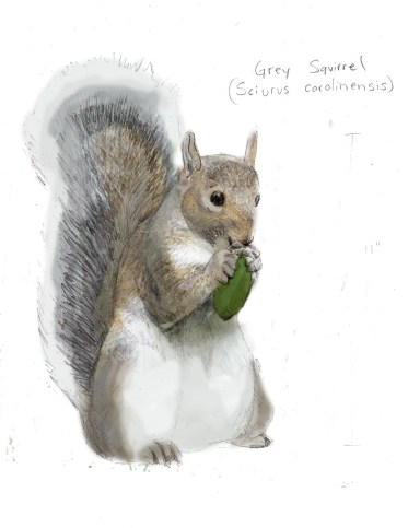 GreySquirrelcolored