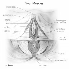 illustration of vaginal wall muscles