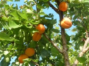 Apricots in a garden near Rowen, August 2017.