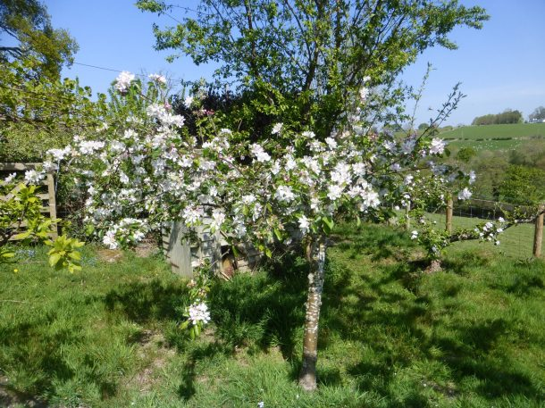 Falstaff apple, great cropper with Apricot tree behind