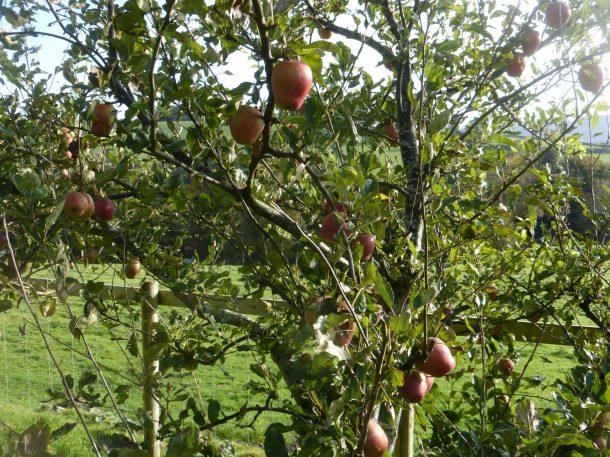 Adams Pearmain apple, distinctive shape, good keeper.