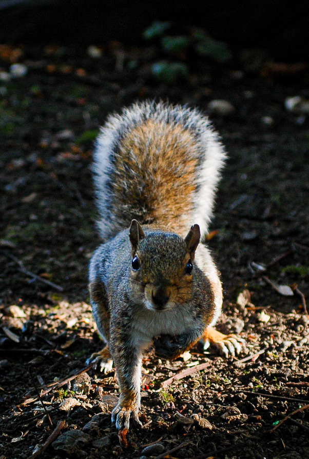 Rowntree park Squirrel