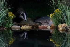 Blaireau européen à l'étang la nuit