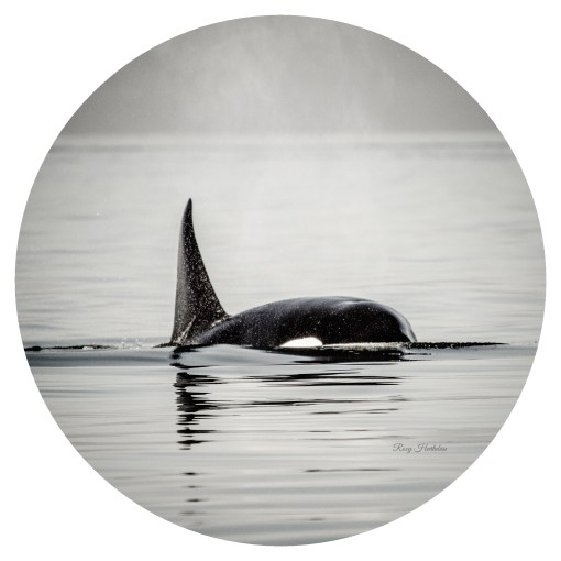 Orca Spray Photography by Roxy Hurtubise