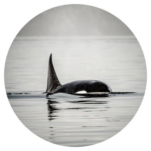 Orca Spray Photography by Roxy Hurtubise