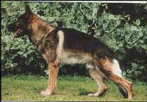 roach back german shepherd