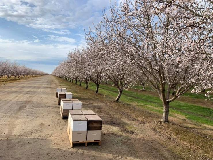 Hives in Almond Orchard