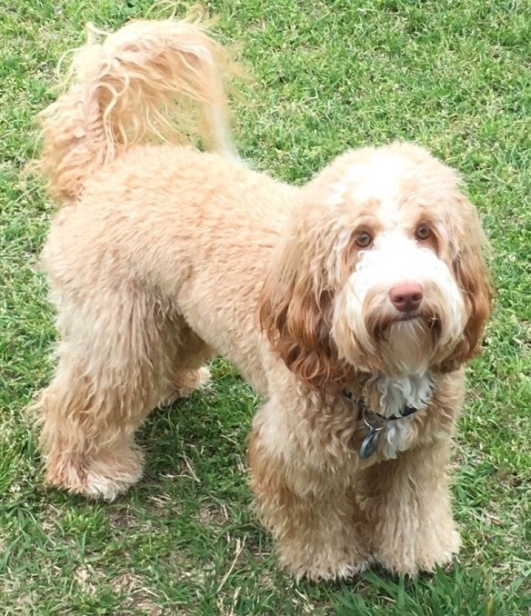 Royal Australian Labradoodles We Are A Small Home Breeder