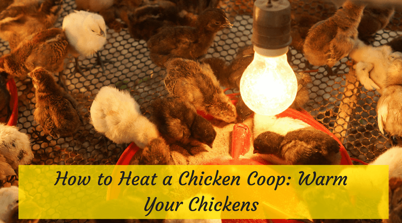 How to Heat a Chicken Coop- Warm Your Chickens