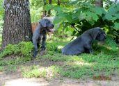 Gabby & Jake's Puppies, April 2015 Litter