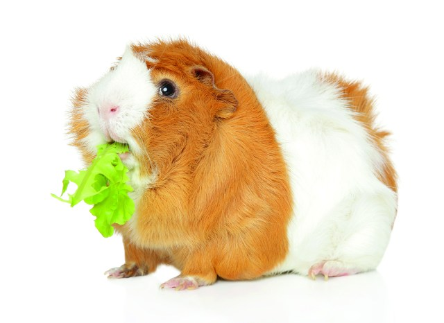 Why Guinea Pigs Make Great Pets Royal Examiner