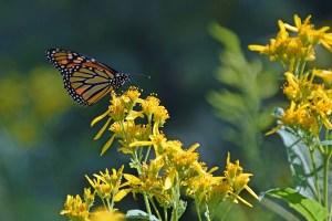 Monarch Day @ Sky Meadows State Park
