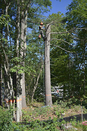 tree removal in Merrimac, MA