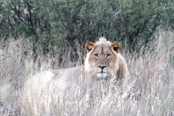 Esperance-lion-in-grass021317