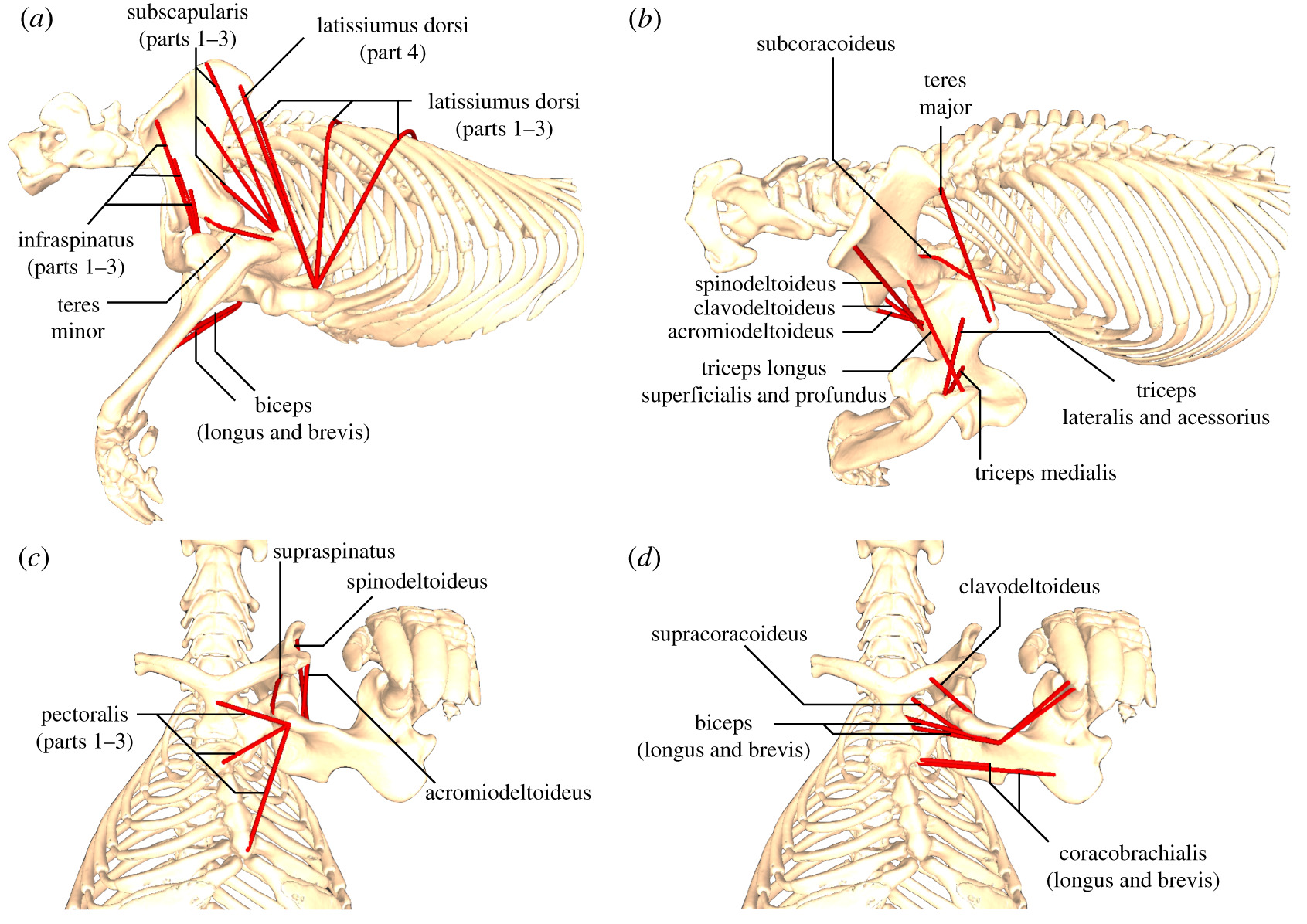 Pectoral Girdle And Forelimb Musculoskeletal Function In