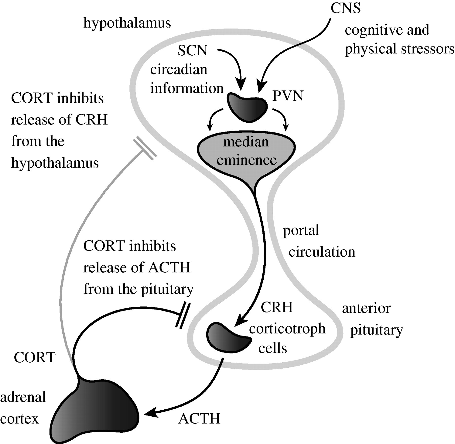 Origin Of Ultradian Pulsatility In The Hypothalamic