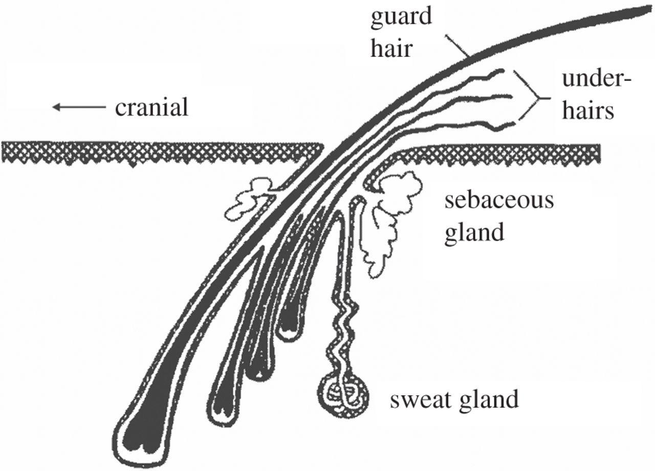 Unique Fur And Skin Structure In Harbour Seals Phoca