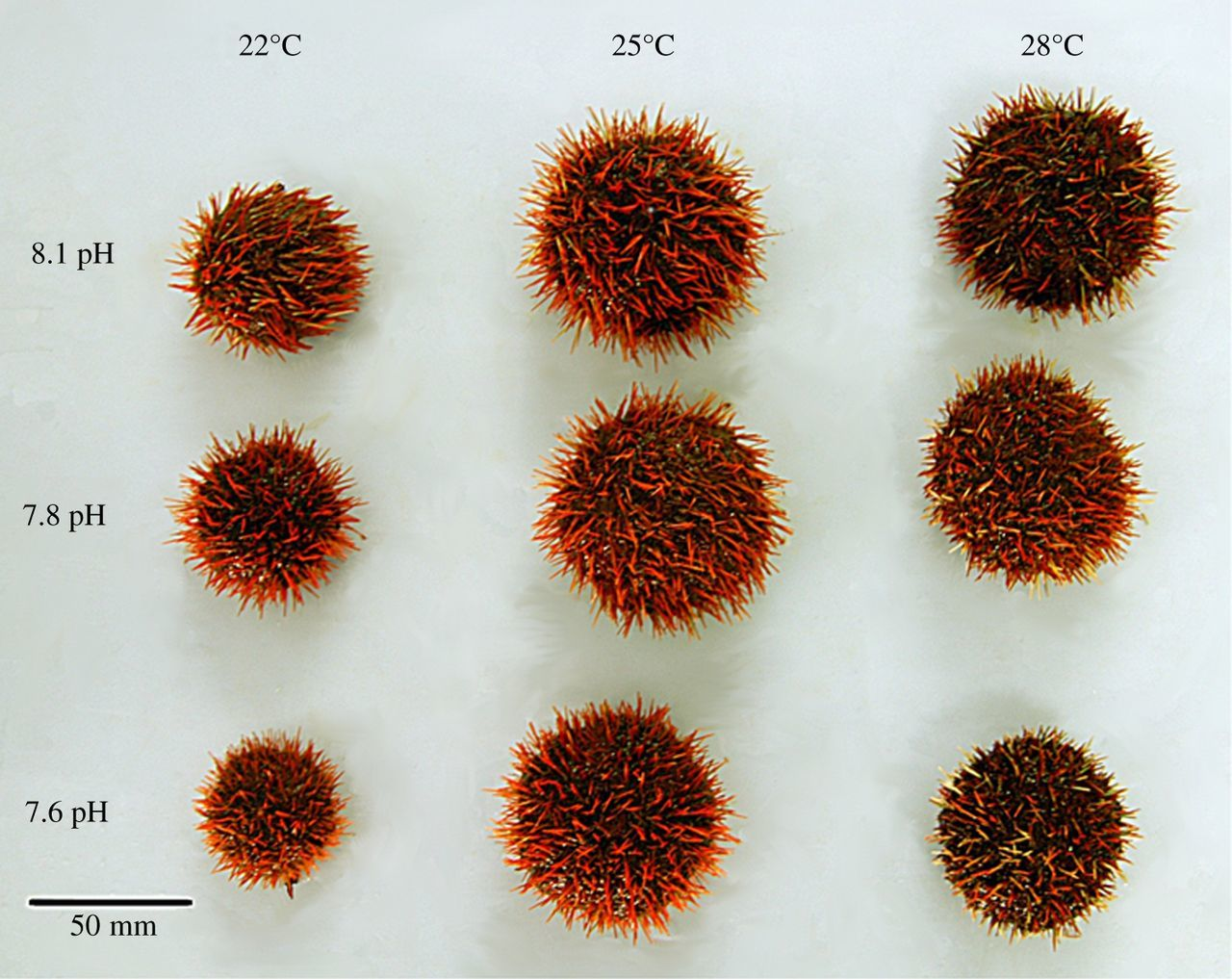 Impacts Of Ocean Acidification On Sea Urchin Growth Across