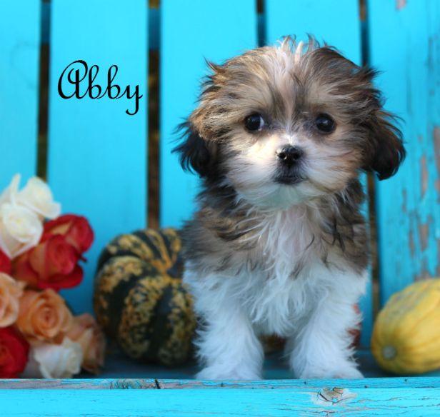 abby-mi-ki-9-weeks-royal-t-mi-kis