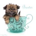Baxter-teacup-8-weeks-name