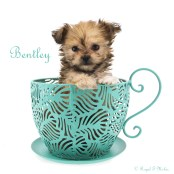 Bentley-teacup-8-weeks-name