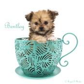 Bentley-teacup-8-weeks-name