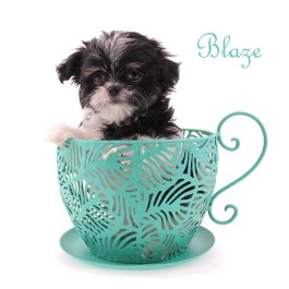 Blaze-teacup-8-weeks-name