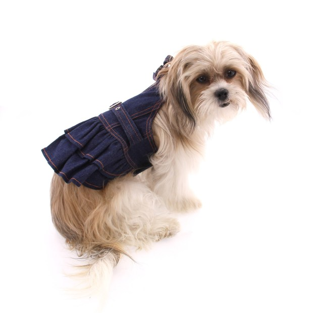 tan adult Mi-Ki dog wearing a dress