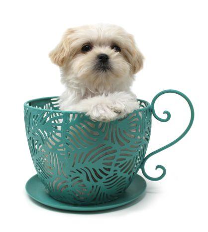 Royal-T-Mi-kis_puppy_Cooper-3-11-18