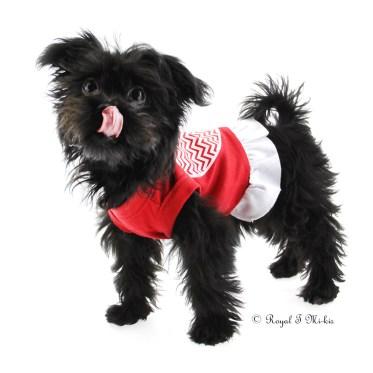 Mi-ki_puppy_for_sale_Colorado_Royal-T-Mi-kis
