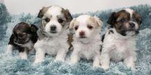 Evie_Moses_Heaven_Sent_Mi-ki_Puppies_20180906-2c