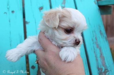 Hamilton_mi-ki-puppy_20180914_2c