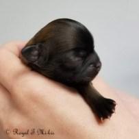 Isadora_Mi-ki_Puppy_20180918_Royal_T_Mi-kis-3c