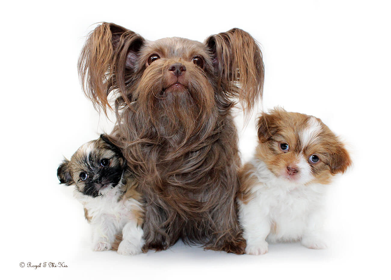 A dark chocolate Mi-Ki dog with her two puppies