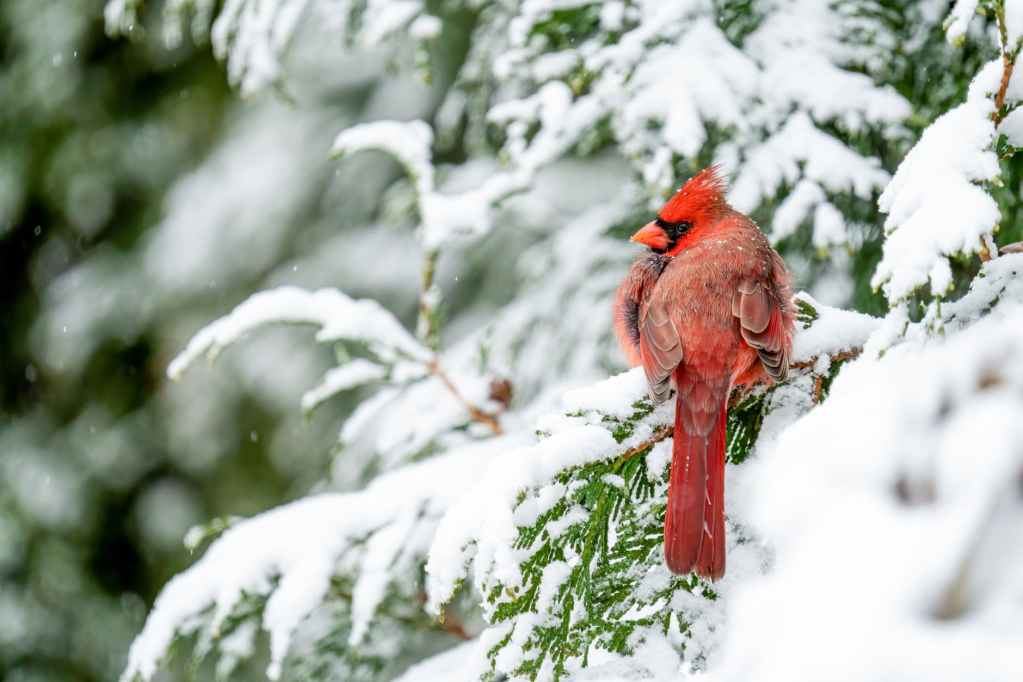 red northern cardinal bird resting on snowy fir branch