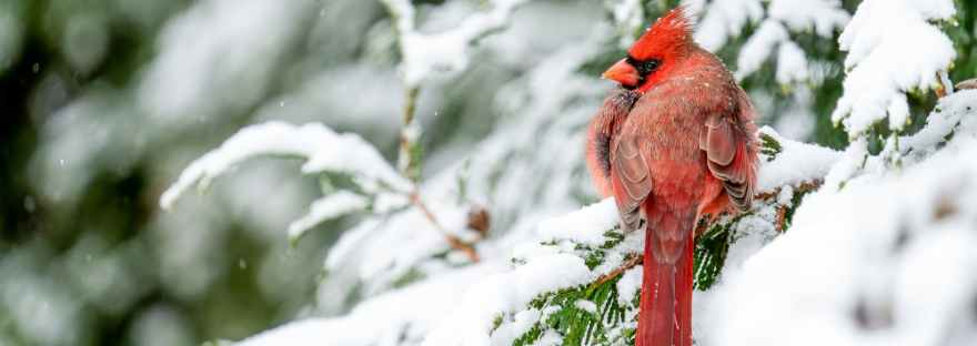 red northern cardinal bird resting on snowy fir branch