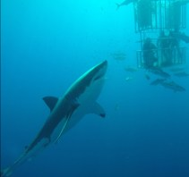 That's me & my brother Alex/Orbi in the cage. Guadalupe Islands. September 2015. 5 hours a day underwater. We saw some crazy stuff down there that you could never see in a documentary. Sharks attacking a full speed from the depths of 300 feet straight up. Dominant seals taunting the sharks while the other seals swim for shore. (and my cousin Grady Orbison splashing around the boat in the open water trying to catch yellowtail with his bare hands. He thought we could warn him if we saw a shark coming.)