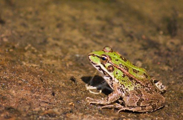 northern-leopard-frog_