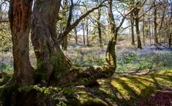 bluebells_peter-andrew