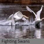 Fighting Swans`