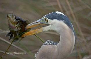 Great Blue Heron fishing.